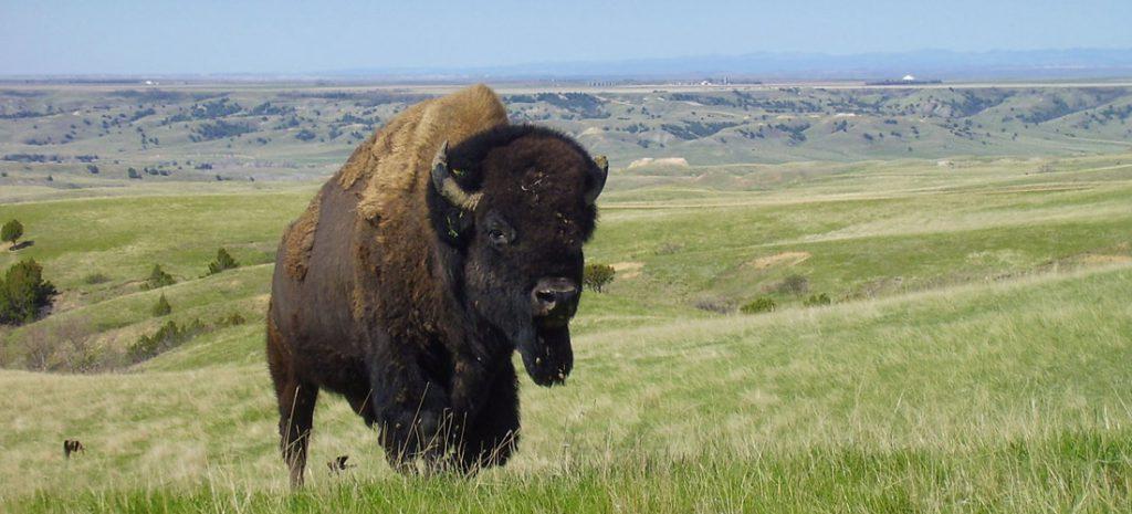 bisonti badlands