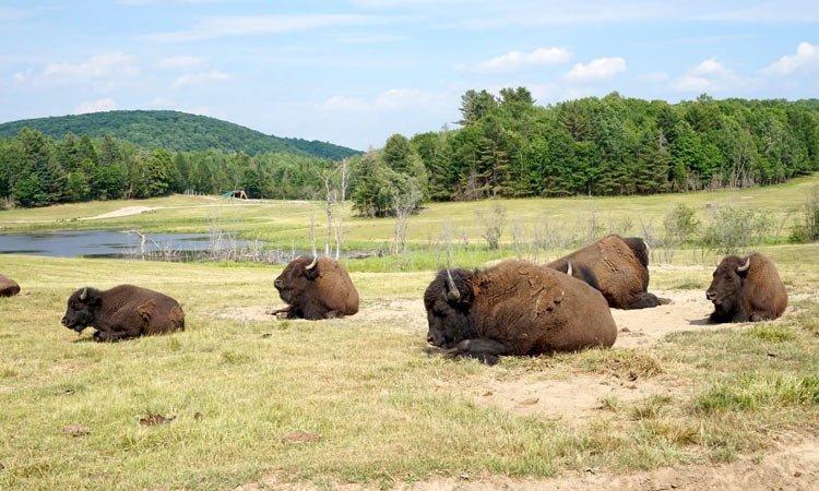 bisonti canada