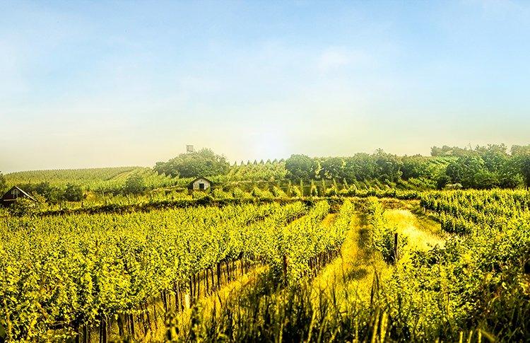 napa valley-vigne