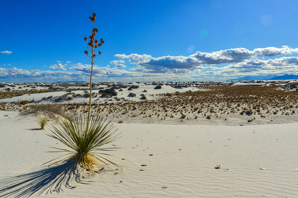 white sands national park yucca